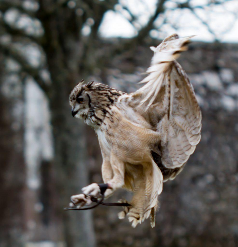 Falconry Display - Dunrobin Castle